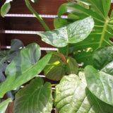 【観葉植物】小さく買って大きく育てる♡我が家のウッドデッキのグリーンたちのこと【ウッドデッキ】
