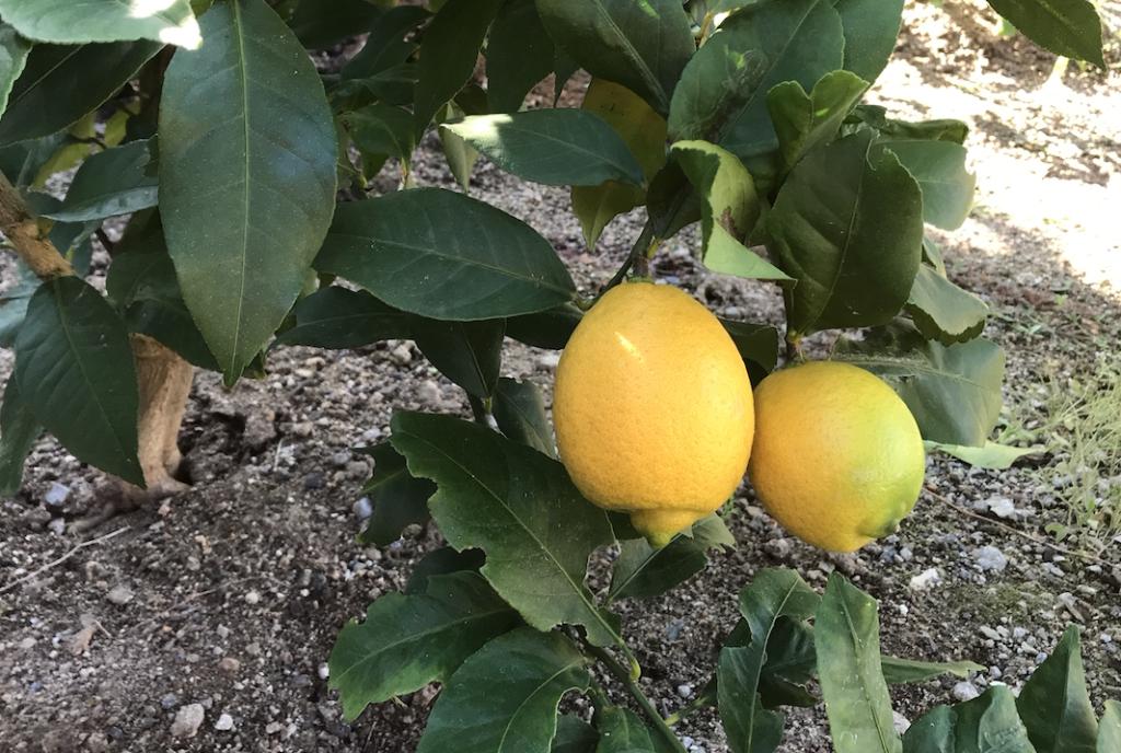 「レモンの木」成長日記植え付け〜収穫までの記録【収穫した檸檬の楽しみ方】