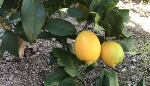 「レモンの木」栽培・成長日記 植え付け〜収穫までの記録【収穫した檸檬の楽しみ方】