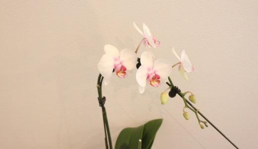胡蝶蘭を育てて咲かせよう。初心者にもおすすめ〜自宅用の洋蘭栽培セット