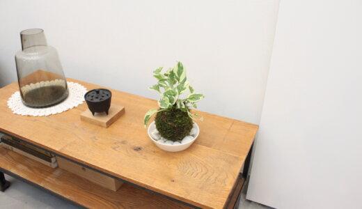 【作り方】苔玉キットで簡単!水栽培のポトスエンジョイを苔玉仕立てに【自作苔玉】